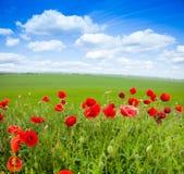 Zakończenie czerwoni maczków kwiaty i zieleni pole Zdjęcia Stock