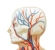 Zakończenie do kierowniczego istota ludzka modela dla nauki medycyny Fotografia Royalty Free