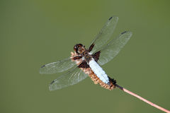 Zakończenie dragonfly Zdjęcie Royalty Free