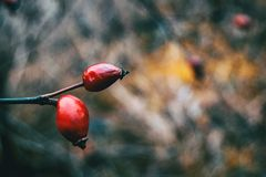 Zakończenie dwa czerwonej jagody Zdjęcia Stock