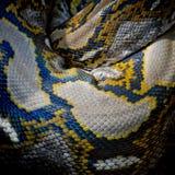 Zakończenie fotografia burmese pytonu iso (pytonu molurus bivittatus) Obrazy Royalty Free