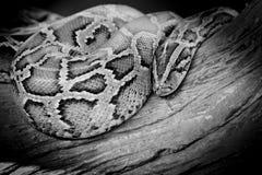 Zakończenie fotografia burmese pytonu iso (pytonu molurus bivittatus) Zdjęcie Stock
