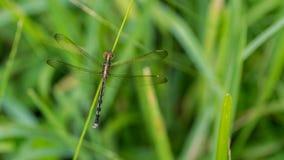 Zakończenie fotografia Dragonfly - akcyjna fotografia Obrazy Stock