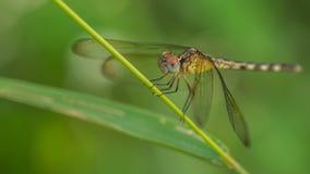 Zakończenie fotografia Dragonfly - akcyjna fotografia Zdjęcie Royalty Free