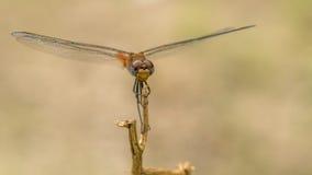 Zakończenie fotografia Dragonfly - akcyjna fotografia Zdjęcia Royalty Free