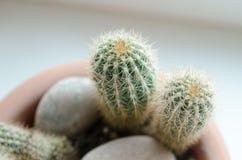 Zakończenie fotografia kaktus Zdjęcie Stock