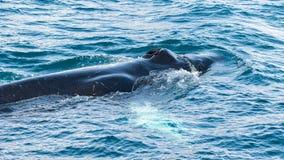 Zakończenie Humpback wieloryb, Dalvik Icelan Obraz Stock