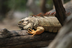 Zakończenie iguana Zdjęcie Stock