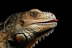zakończenie iguana na Czarnym tle Fotografia Royalty Free