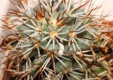 Zakończenie kaktus Fotografia Stock