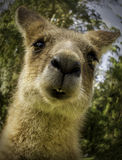 Zakończenie kangur obrazy royalty free
