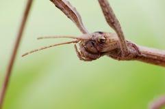 kija insekt Obrazy Royalty Free