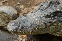 Zako?czenie krokodyl g?owa obrazy royalty free