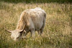 Zakończenie krowa na polu Obrazy Stock