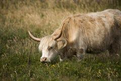 Zakończenie krowa na polu Zdjęcie Royalty Free