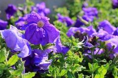 Zakończenie kwiaty volet petunie Obraz Royalty Free