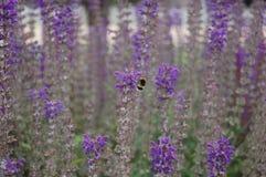 Zakończenie lawendy humblebee Zdjęcie Royalty Free