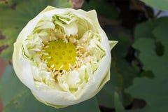 Zakończenie lotosowy kwiat lotosu gospodarstwo rolne Fotografia Royalty Free