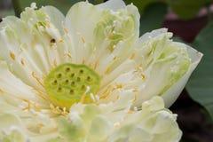 Zakończenie lotosowy kwiat lotosu gospodarstwo rolne Obraz Stock