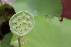 Zakończenie lotosowy kwiat lotosu gospodarstwo rolne Obraz Royalty Free