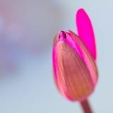 Zakończenie Lotus Obrazy Royalty Free