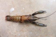 Zakończenie makro- molting raki, rakowy homara gospodarstwa rolnego ocena lub Zdjęcie Royalty Free
