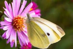 Zakończenie motyl na kwiacie Obraz Royalty Free