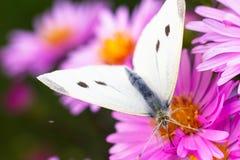 Zakończenie motyl na kwiacie Zdjęcia Royalty Free