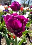 Zakończenie na purpurowych tulipanach Zdjęcie Royalty Free