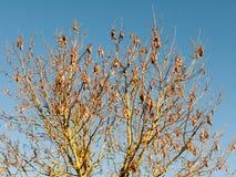 zakończenie nieboszczyk up opuszcza na drzewie w niebieskiego nieba tle Zdjęcia Stock