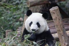 Zakończenie pandy ` s twarz, Chengdu, Chiny zdjęcia royalty free