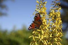 Zakończenie Pawi motyl Aglais Io Fotografia Stock