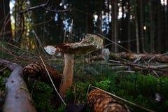 Zakończenie pieczarka w lesie Obrazy Stock