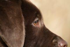 Zakończenie profil brown labrador Fotografia Royalty Free