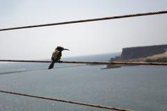Zakończenie ptak w Oman Obraz Royalty Free
