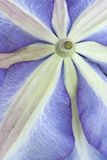 Zakończenie purpurowego Clematis spód Fotografia Stock