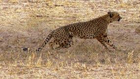 Zakończenie skokowy gepard na polowaniu w pustyni zdjęcie royalty free