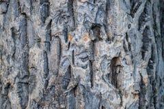 Zakończenie szarobrunatna barkentyna korkowy drzewo Zdjęcie Royalty Free