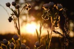 Zakończenie trawy kwiat z zmierzchem Fotografia Royalty Free