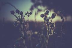 Zakończenie trawy kwiat z zmierzchem Obrazy Royalty Free