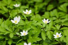 Zako?czenie up na Japo?skim anemonie kwitnie tak?e nazwanego thimbleweed lub windflower zdjęcie royalty free
