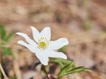 Zako?czenie up na Japo?skim anemonie kwitnie tak?e nazwanego thimbleweed lub windflower rosn?? w lesie obraz stock