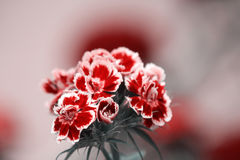 Zakończenie up w portugalczyków ogródach kwitnie Flox - Dianthus Zdjęcie Stock