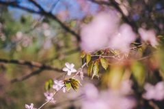 Zako?czenie w g?r? Sakura kwiatu, czere?niowego okwitni?cia, czere?niowego drzewa na zamazanym zielonym drzewie i niebieskiego ni zdjęcie stock