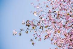 Zako?czenie w g?r? Sakura kwiatu, czere?niowy okwitni?cie, czere?niowy drzewo na zamazanym niebieskiego nieba tle zdjęcie stock
