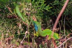 Zakończenie widok kolorowa jaszczurka Zdjęcie Stock