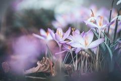 Zakończenie wiosna krokusy up kwitnie, plenerowa wiosna Obrazy Royalty Free