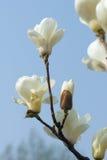 Yulan kwiat Zdjęcia Stock