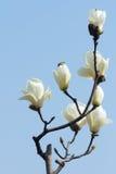 Yulan kwiat Zdjęcie Royalty Free