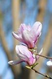 Yulan kwiat Fotografia Royalty Free